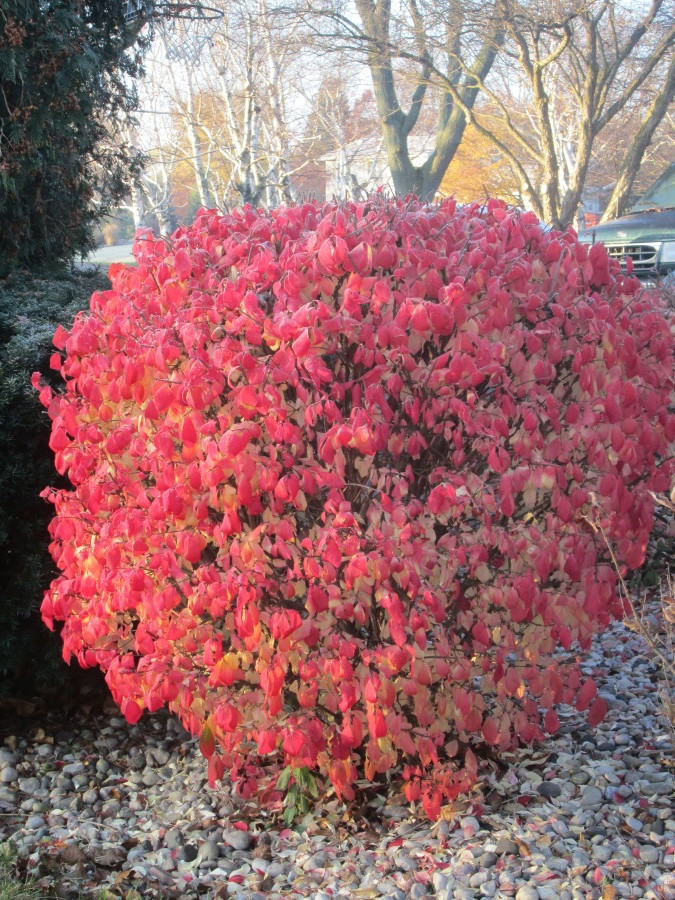 I have a fire bush!  I LOVE IT!!!  It is just beautiful and makes me so happy!